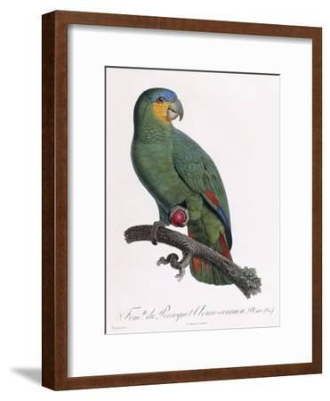 Female of the Douro-Couraou Parrot
