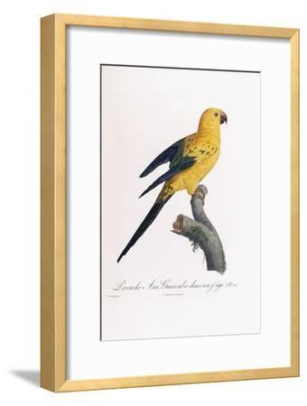 Golden Parakeet, Ara Guarouba, at an Early Age