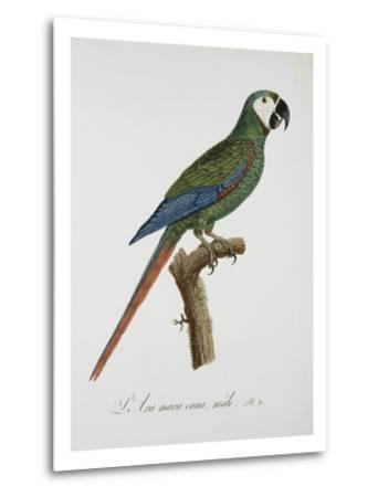 Male Blue-Winged Macaw