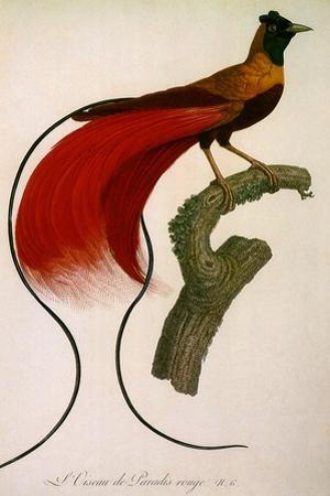 Red Bird of Paradise, Paradisaea Rubra