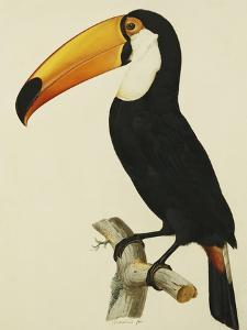 The Toco Toco Toucan (Ramphastos Toco) by Jacques Barraband