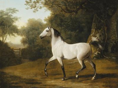 A Grey Arab Stallion in a Wooded Landscape
