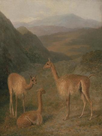 Vicunas, 1831