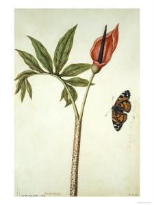 Botanical Study of a Dragon Lily and Butterfly by Jacques Le Moyne De Morgues