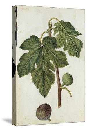 Botanical Study of a Fig