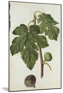 Botanical Study of a Fig by Jacques Le Moyne De Morgues