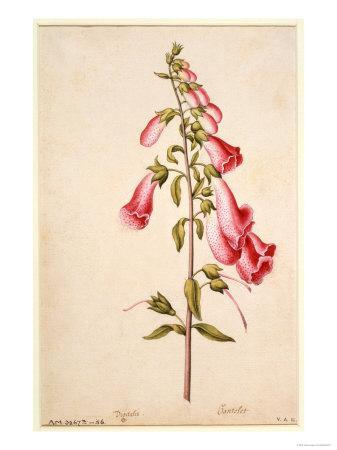Botanical Study of a Foxglove