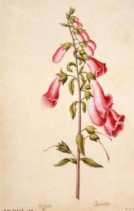 Botanical Study of a Foxglove by Jacques Le Moyne De Morgues