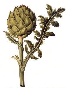 Botanical Study of a Globe Artichoke by Jacques Le Moyne De Morgues