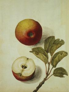 Botanical Study of an Apple by Jacques Le Moyne De Morgues