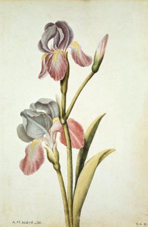 Botanical Study of an Iris