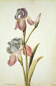 Botanical Study of an Iris by Jacques Le Moyne De Morgues