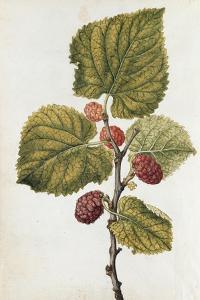 Botanical Study of Mulberry by Jacques Le Moyne De Morgues