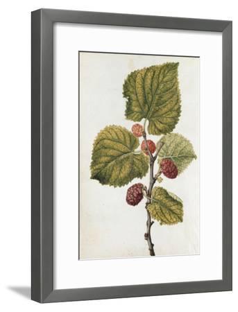 Botanical Study of Mulberry