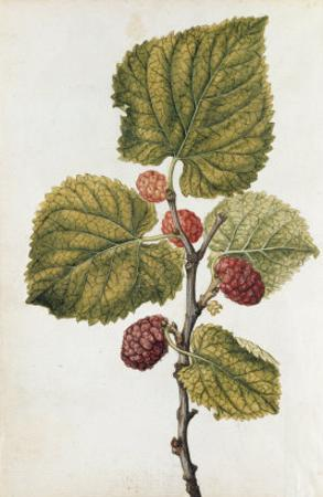 Botanical Study of Mulberry by Jacques Le Moyne De Morgues