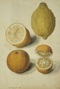 Botanical Study of Oranges and Lemons by Jacques Le Moyne De Morgues