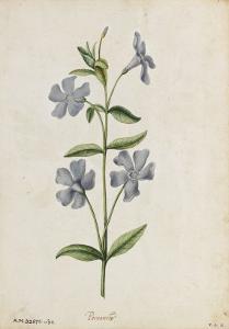 Botanical Study of Periwinkle by Jacques Le Moyne De Morgues