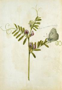 Vetch and Black Veined White Butterfly by Jacques Le Moyne De Morgues