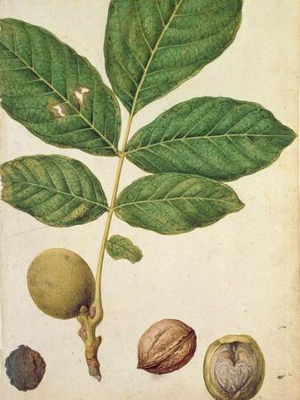 Walnut, c.1568