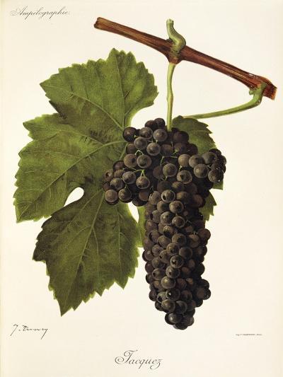Jacquez Grape-J. Troncy-Giclee Print