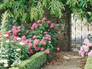 Pathway and Gate Low Clipped Box, Hydrangea by Jacqui Hurst