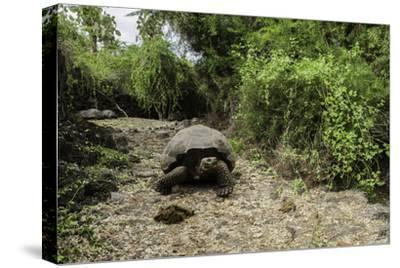A Captive Galapagos Tortoise at the Charles Darwin Research Station