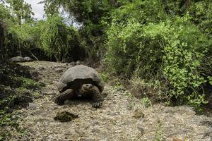 A Captive Galapagos Tortoise at the Charles Darwin Research Station by Jad Davenport