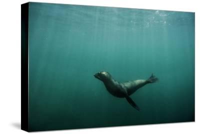 A Galapagos Sea Lion Pup Playing