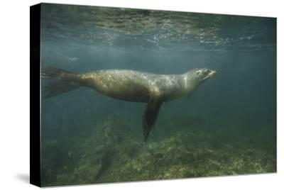 A Galapagos Sea Lion Swimming in the Sea