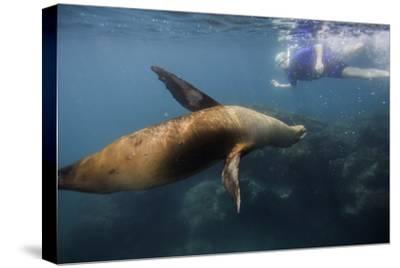 A Galapagos Sea Lion Swimming with a Snorkeler