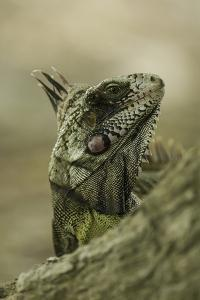 A green iguana. Wildlife is returning to the ash covered forests. by Jad Davenport
