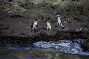 Galapagos Penguins on Isabela Island by Jad Davenport