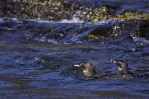 Galapagos Penguins Swimming in Water by Jad Davenport