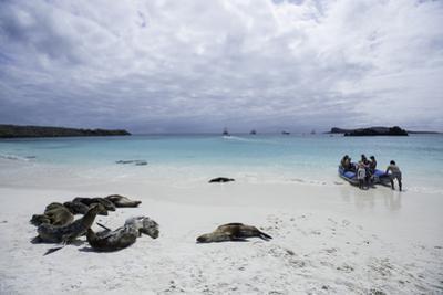 Tourists and Curious Galapagos Sea Lions Mingle on the Beach by Jad Davenport