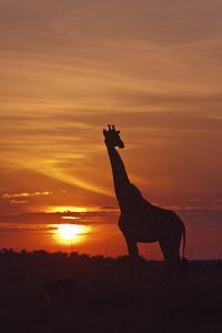 Giraffe at Sunrise, Maasai Mara Wildlife Reserve, Kenya by Jagdeep Rajput