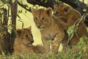 Lion Cubs in the Bush, Maasai Mara Wildlife Reserve, Kenya by Jagdeep Rajput