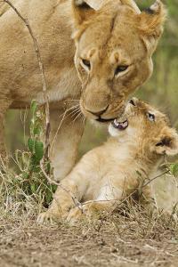 Lion with Young One, Maasai Mara Wildlife Reserve, Kenya by Jagdeep Rajput