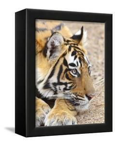 Portrait of Royal Bengal Tiger, Ranthambhor National Park, India by Jagdeep Rajput