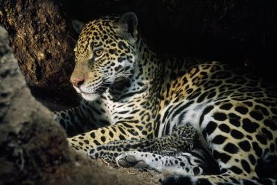 Jaguar Female, with 2 Day Old Cub in Forest Floor--Photographic Print