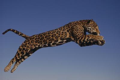 https://imgc.artprintimages.com/img/print/jaguar-jumping-through-sky_u-l-pzraax0.jpg?p=0
