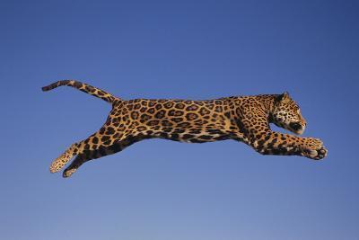 Jaguar Jumping through Sky-DLILLC-Photographic Print