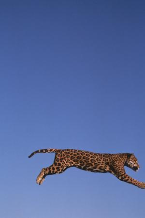 https://imgc.artprintimages.com/img/print/jaguar-leaping_u-l-pzrg6j0.jpg?p=0