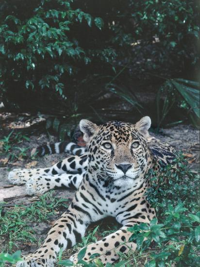 Jaguar Lies on Ground in Tropical Rainforest-Jeff Foott-Photographic Print