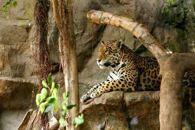 Jaguar, Loro Parque, Tenerife, Canary Islands, 2007-Peter Thompson-Photographic Print