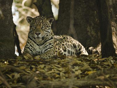 Jaguar (Panthera Onca) Along a Riverbank in Brazil's Pantanal Wetlands-Joe McDonald-Photographic Print