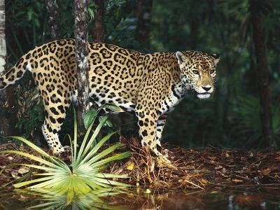Jaguar (Panthera Onca) Belize Zoo, Belize-Gerry Ellis-Photographic Print