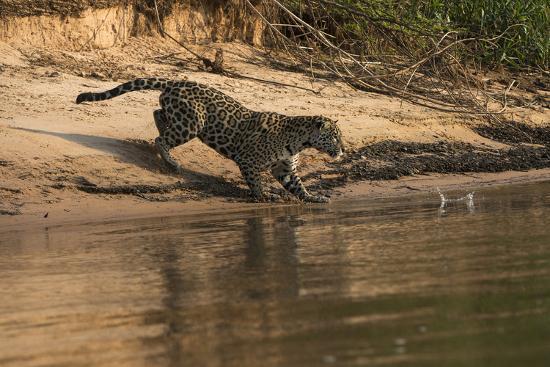 Jaguar (Panthera Onca) Female, Northern Pantanal, Mato Grosso, Brazil-Pete Oxford-Photographic Print