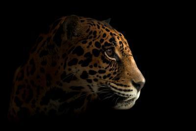 Jaguar ( Panthera Onca ) in the Dark-Anan Kaewkhammul-Photographic Print
