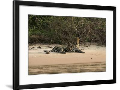Jaguar (Panthera Onca) Male, Northern Pantanal, Mato Grosso, Brazil-Pete Oxford-Framed Photographic Print