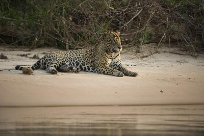 Jaguar (Panthera Onca) Male, Northern Pantanal, Mato Grosso, Brazil-Pete Oxford-Photographic Print